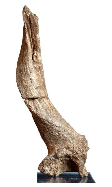 Cheville osseuse holotype de Gazellospira torticornis du Coupet (2 A env)