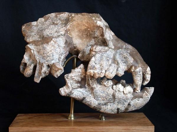 Crane holotype de Pachycrocuta brevirostris